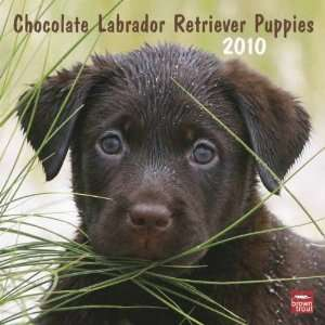 Chocolate Labrador Retriever Puppies 2010 Wall Calendar